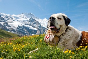 10-St.-Bernard-dogs-are-a-very-special-symbol-of-Switzerland